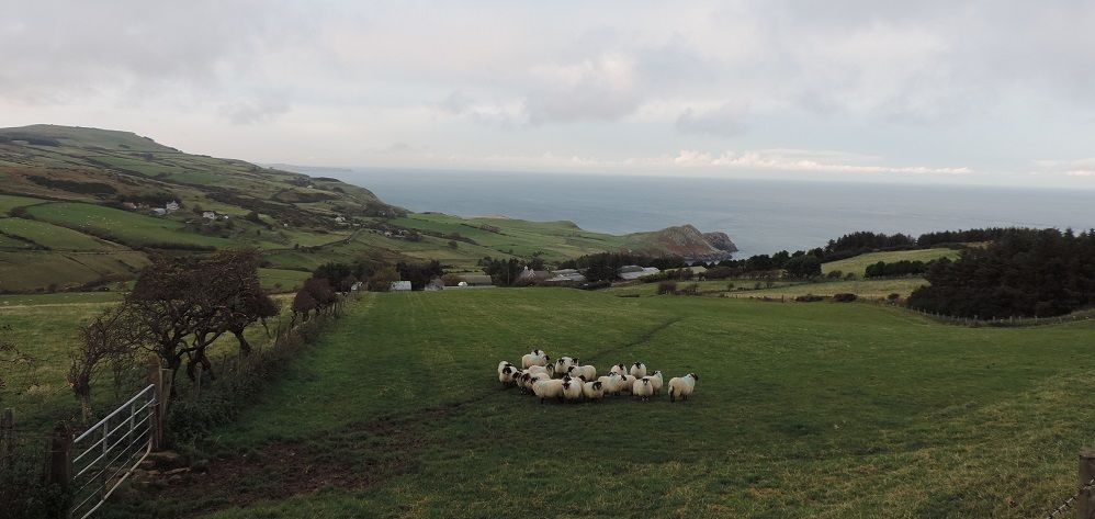 Sheep on Torr Head